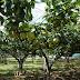 今年の梨は不作です…久しぶりの梨園