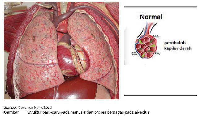 Fungsi paru paru dan gambar