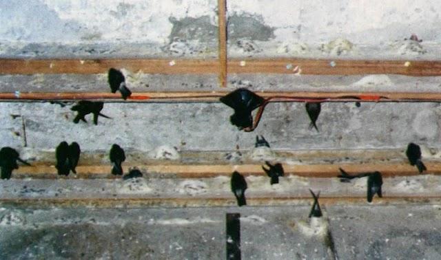 Teknik Memancing Walet Menggunakan CD Rekaman Suara Walet Birahi