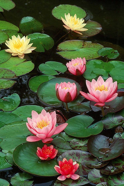 Water lilies, a kind of adaptations