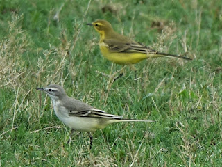 Yellow Wagtails at Wareham Common © Trevor Warrick.