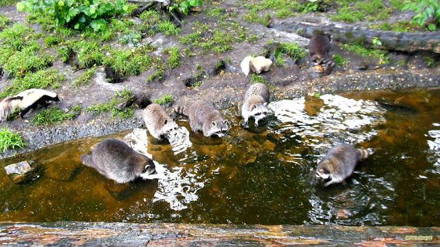 Wasberen bij het water