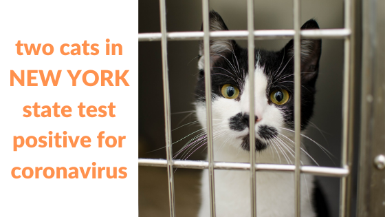 two cats in NEW YORK state test positive for coronavirus