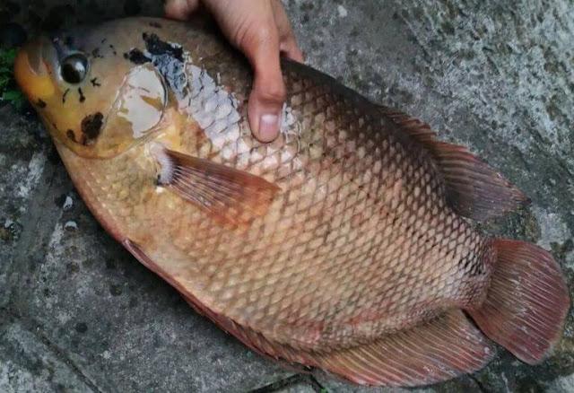 Informasi Tarif Supplier Jual Ikan Gurame Bibit & Konsumsi Bandung, Jawa Barat