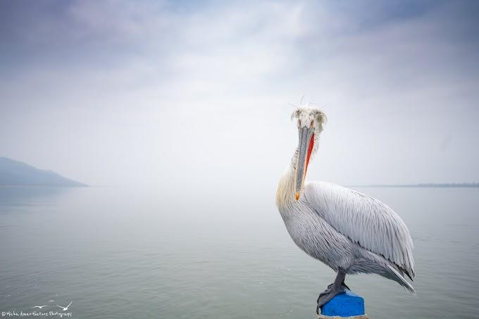 Curly Pelican, (Pelicanos Crispus)