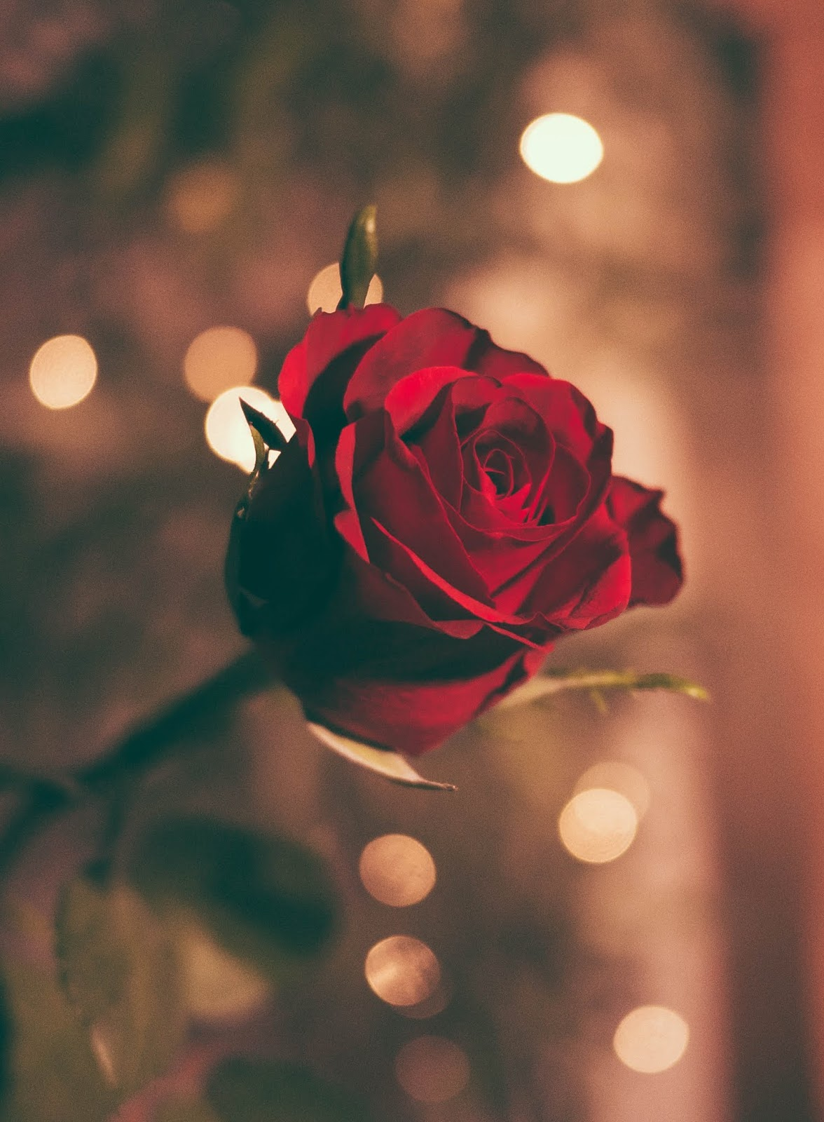 focused photo of a red rose, rose images