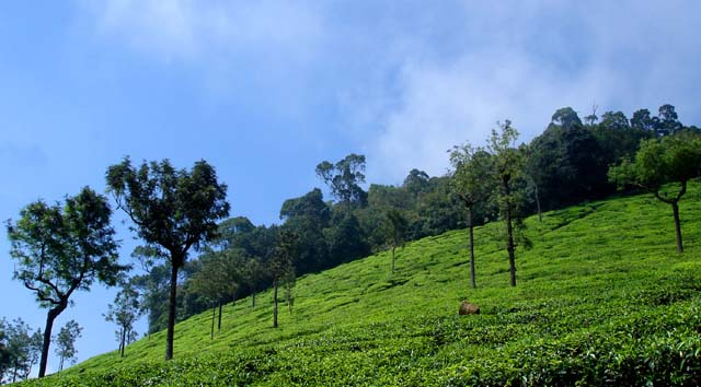 tea plantation Ooty India