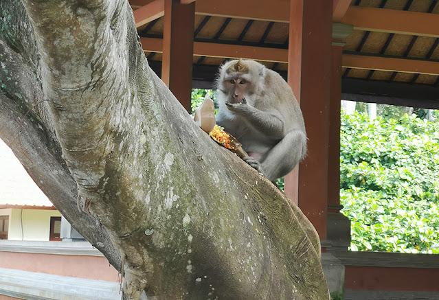 Si monyet sedang sarapan nasi kuning hasil penjambretannya