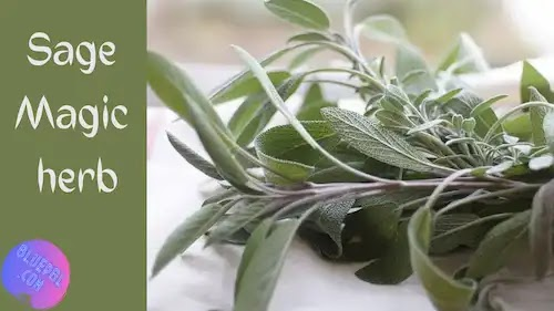 Sage herb its benefits its use in treatment its dangers