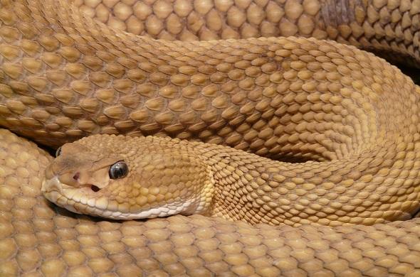 snake-ثعبان