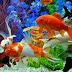 एक्वेरियम में होगी इस रंग की मछली तो खुल जाएगी आपकी किस्मत