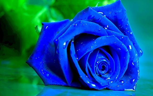 hoa hồng xanh đẹp nhất 2017 1