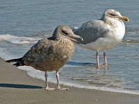 Herring gulls, adult and juvenile, NC photo by Dick Daniels, Oct. 2006