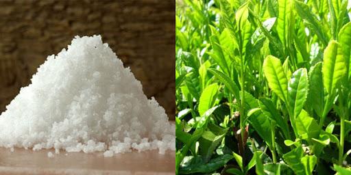 Trị khí hư có mùi hôi bằng lá trà xanh và muối