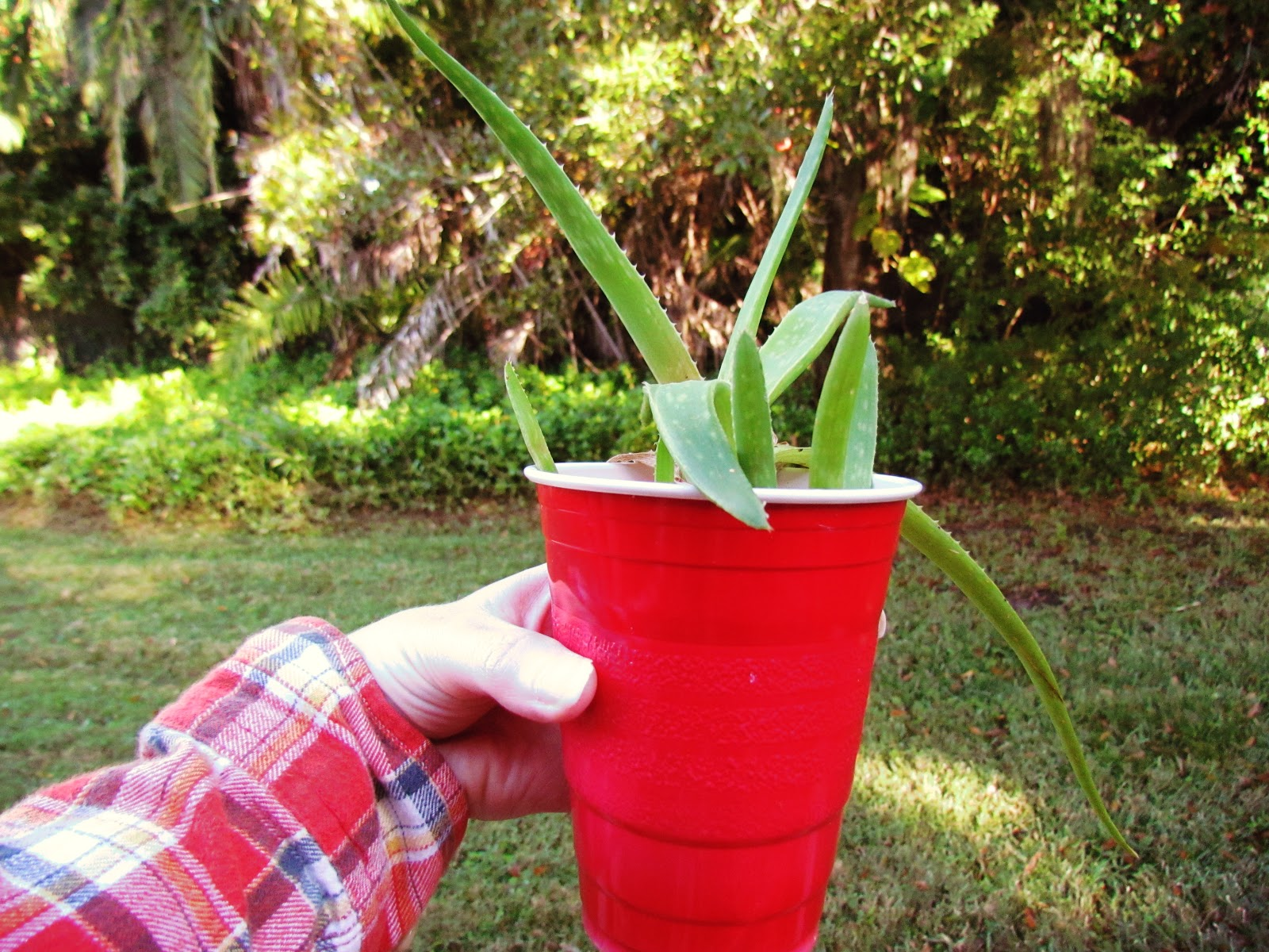 A woman wearing red flannel holding an aloe vera plant in a red potted cup in the backyard in Florida