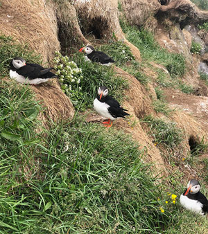 Puffins on their cliffside nests at the seashore (Source: Palmia Observatory)