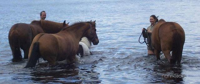 nightless night, horses swimming, Finland
