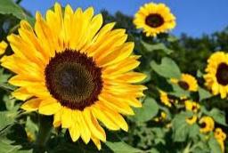 bunga matahari yang indah