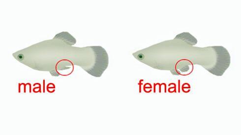Perbedaan ikan molly jantan dan betina