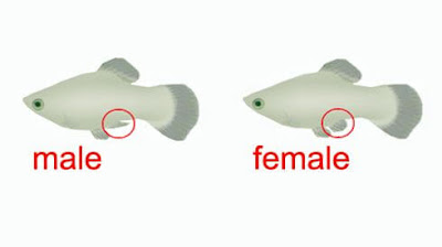 Membedakan ikan molly jantan dan betina