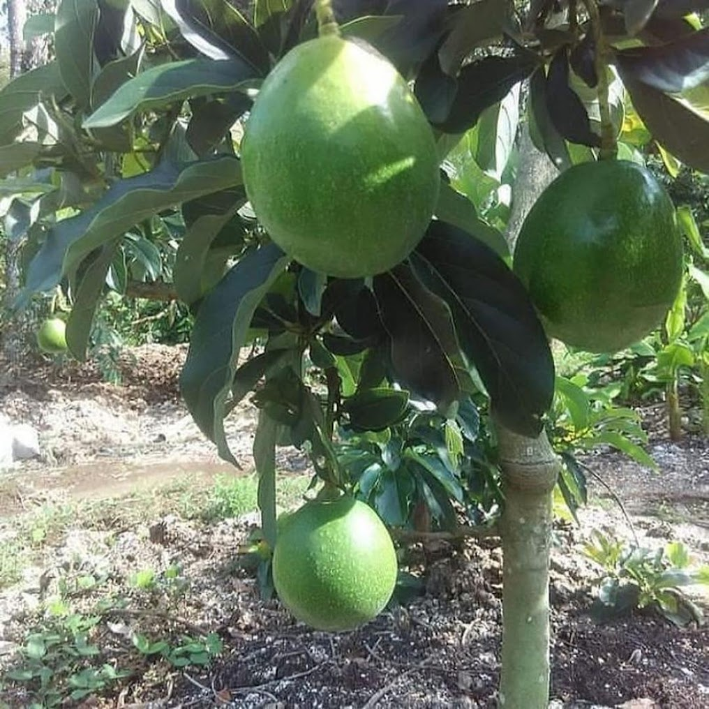 bibit alpukat miki cepat berbuah hasil okulasi Gorontalo