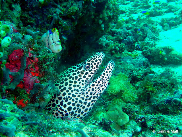 leopard moray eel, celebes sea, sulawesi, indonesia