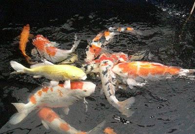 Cara Budidaya Ikan Koi di Kolam Terpal