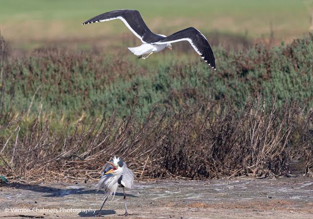 Kelp Gull Attacking Grey Heron Woodbridge Island Vernon Chalmers Photography 4
