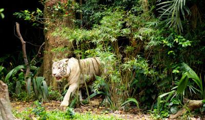 green jungle camp,tiger,rajaji tiger reserve dehradun,dehradun,jungle ride,tiger safari,jungle,tiger reserve,tiger video,hotel in dehradun,tiger reserve uttarakhand,king of the jungle,single road,uttarakhand,jungle safari,ratapani jungle lodge,camping,dehradun district,tigers in india,dehradun mussoorie,tigers in rajaji national park,derra camp and resort,jungle resort,bungee jumping