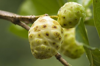 noni fruit to get rid of rats from house