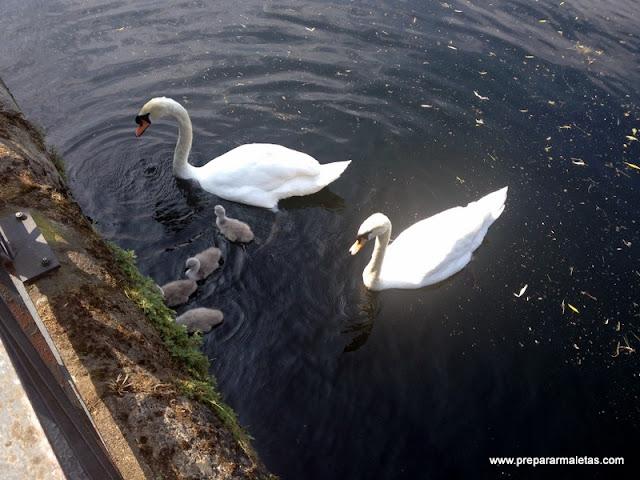 cisnes en Canary Wharf