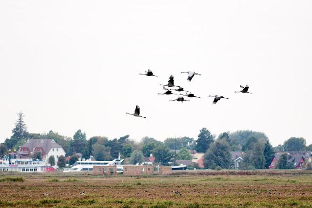 Kraniche fliegen über die Vogelschutzinsel Kirr. Im Hintergrund sind Ausflugsschiffe im Zingster Hafen zu sehen.