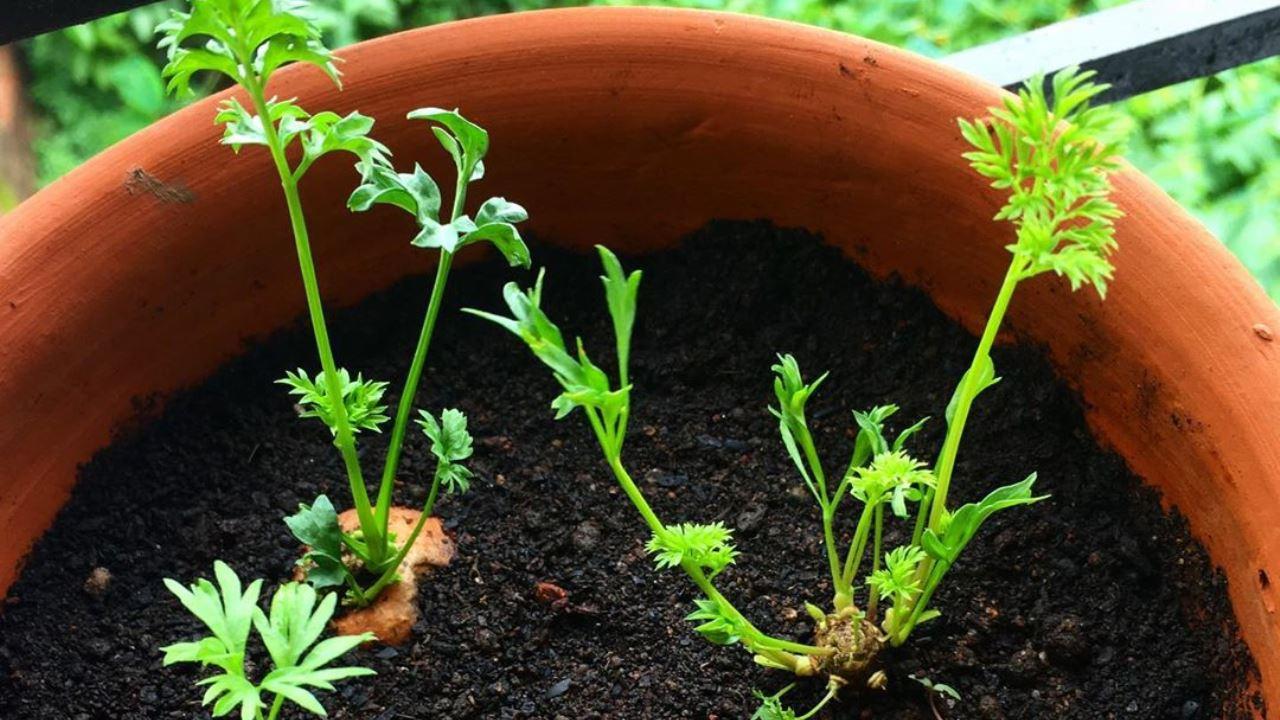 Karotten, Ernten Sie Ihre Gartenbehälter