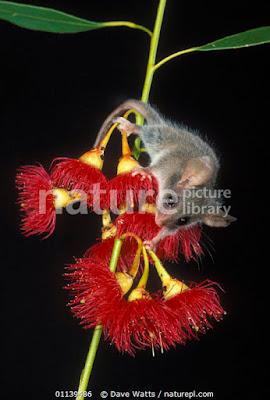 Oposum pigmeo pequeño (Cercartetus lepidus)
