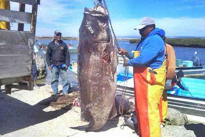 Resultado de imagen para imagenes del pez Mero
