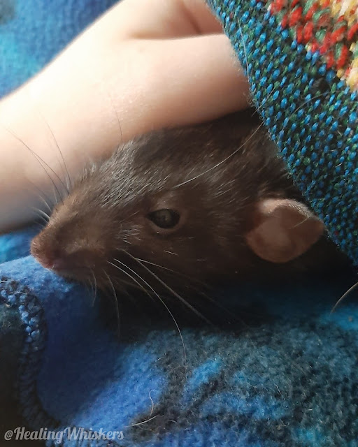 Franklin the therapy rat has a health scare