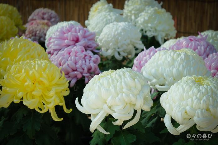 Chrysanthèmes du marché floral, Château de Fukuyama, Hiroshima-ken