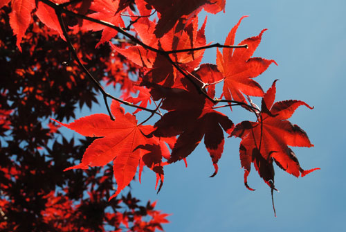 japenese maple leaves