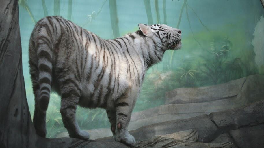 White Tiger, 4K, #4.558