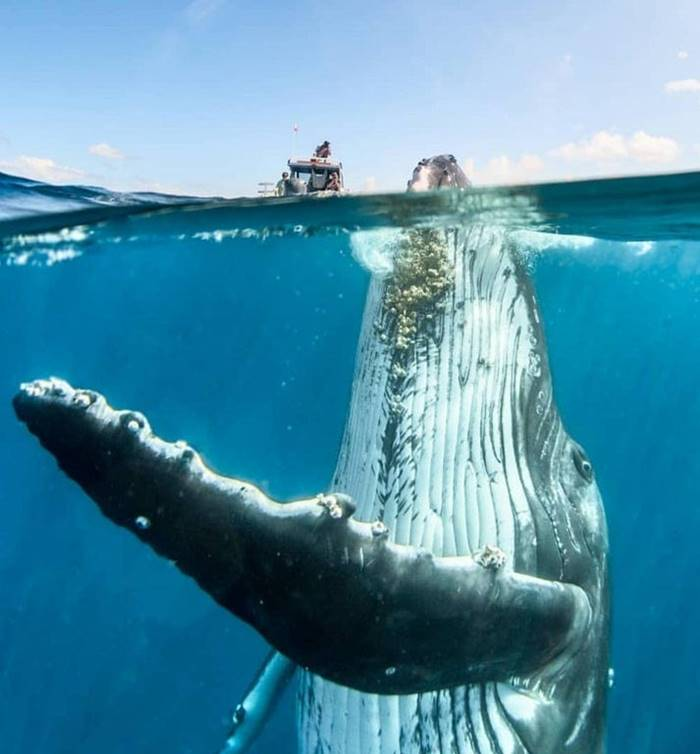 Perspective size of the Humpback Whale
