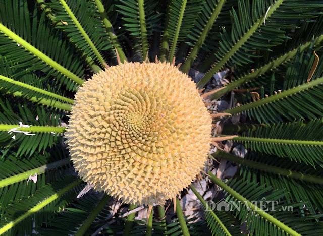 Chiêm ngưỡng hoa của loài cây ngàn năm mới nở