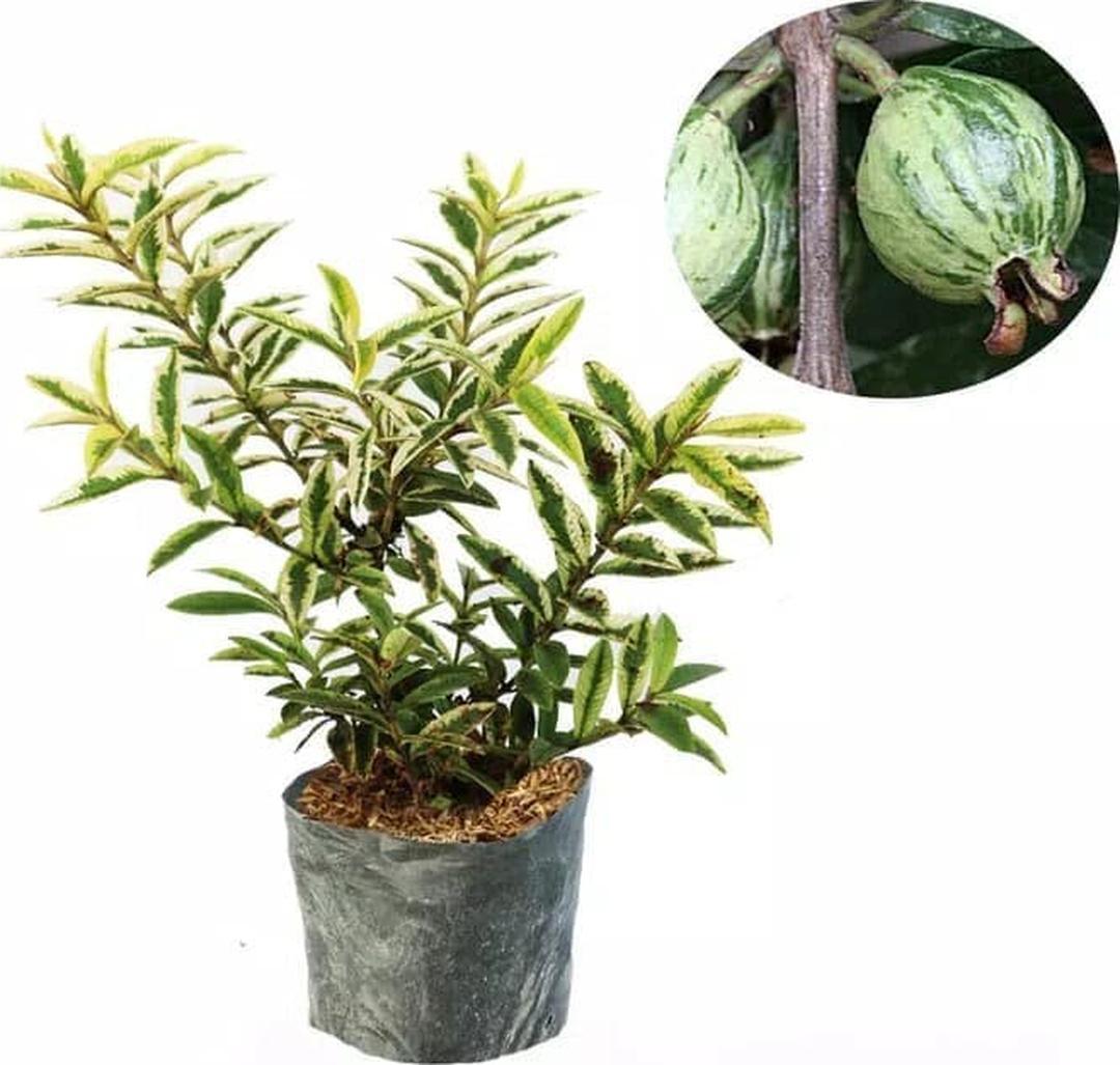 bibit tanaman jambu kerikil variegata Aceh