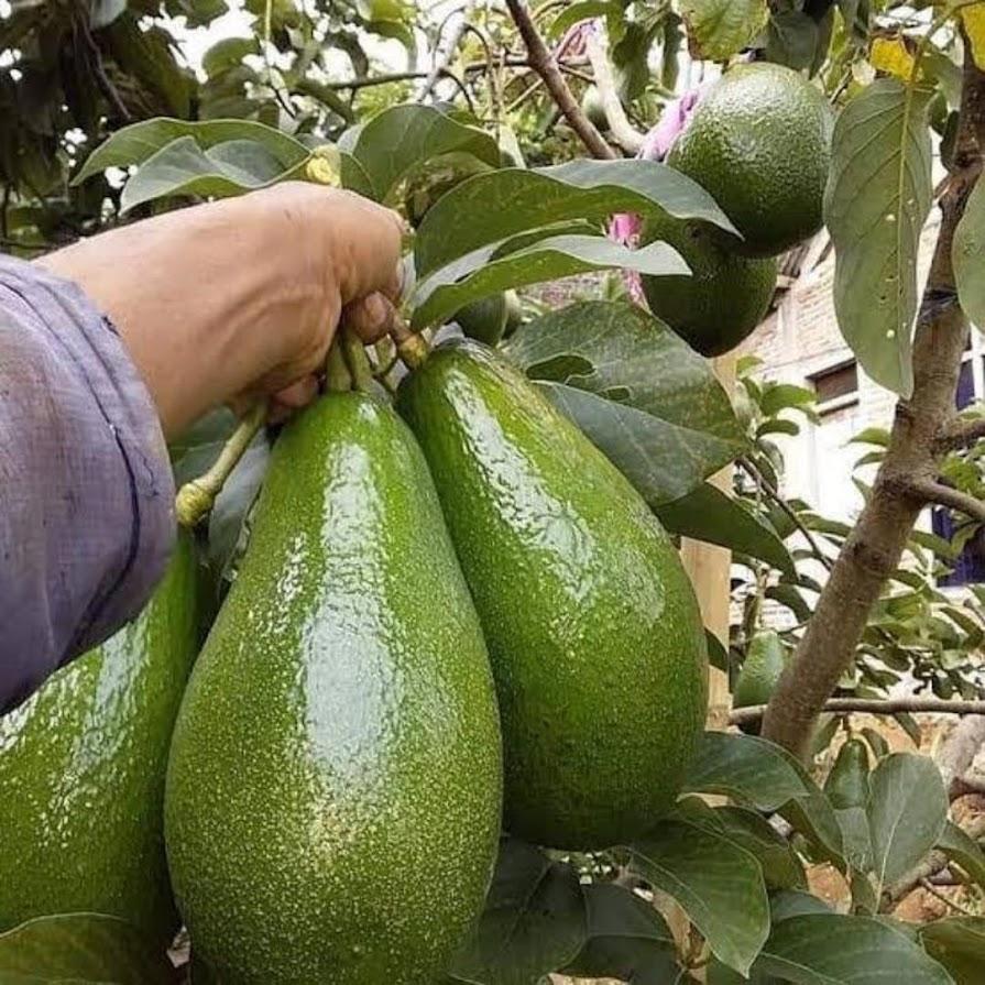 Bibit Pohon Alpukat Aligator bisa berbuah dlm pot Jambi
