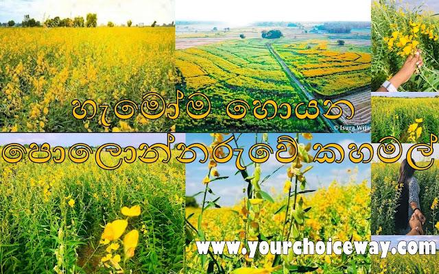 හැමෝම හොයන - පොලොන්නරුවේ කහමල් 🌼🌼🌼🌼 (Polonnaruwe Kahamal) - Your Choice Way