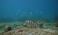 A brown and black fish swimming along a sandy bottom in the blue sea.