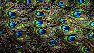 peacock-colorfull-feather-wallpapers