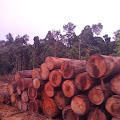 Basmi Illegal Logging ! Aktifis Lingkungan Apresiasi Polda Aceh