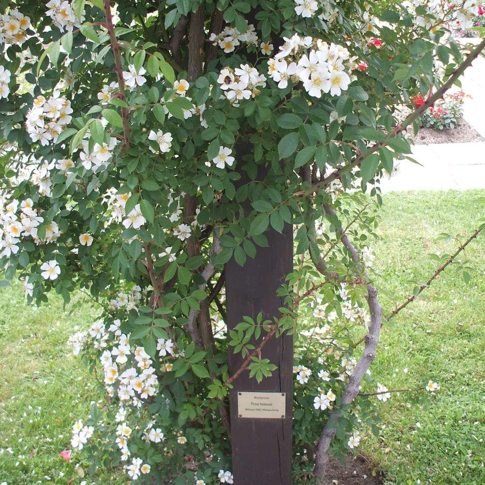 tolle gartentipps: rankgerüste und kletterhilfen für rosen
