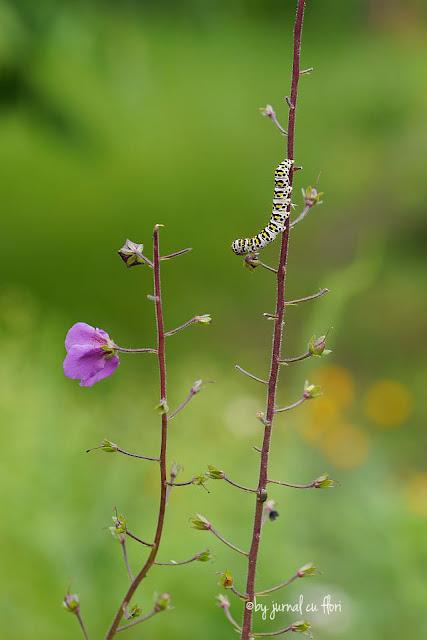 floare de camp salbatica