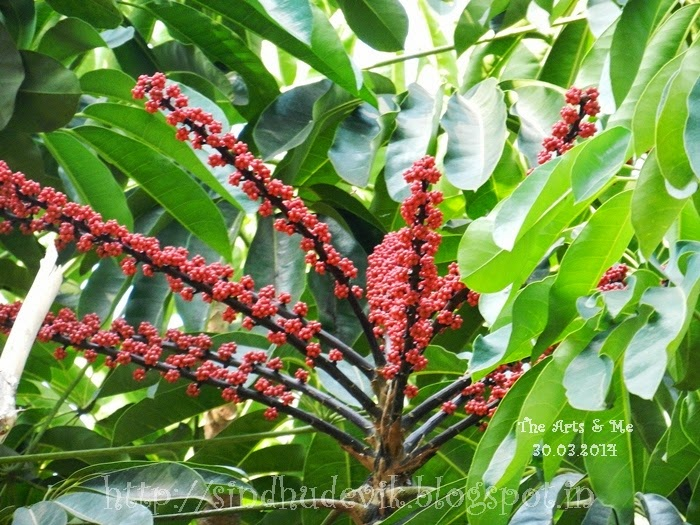 Octopus Tree Berries - Schefflera actinophylla at Aditi Garden, Pune, IN
